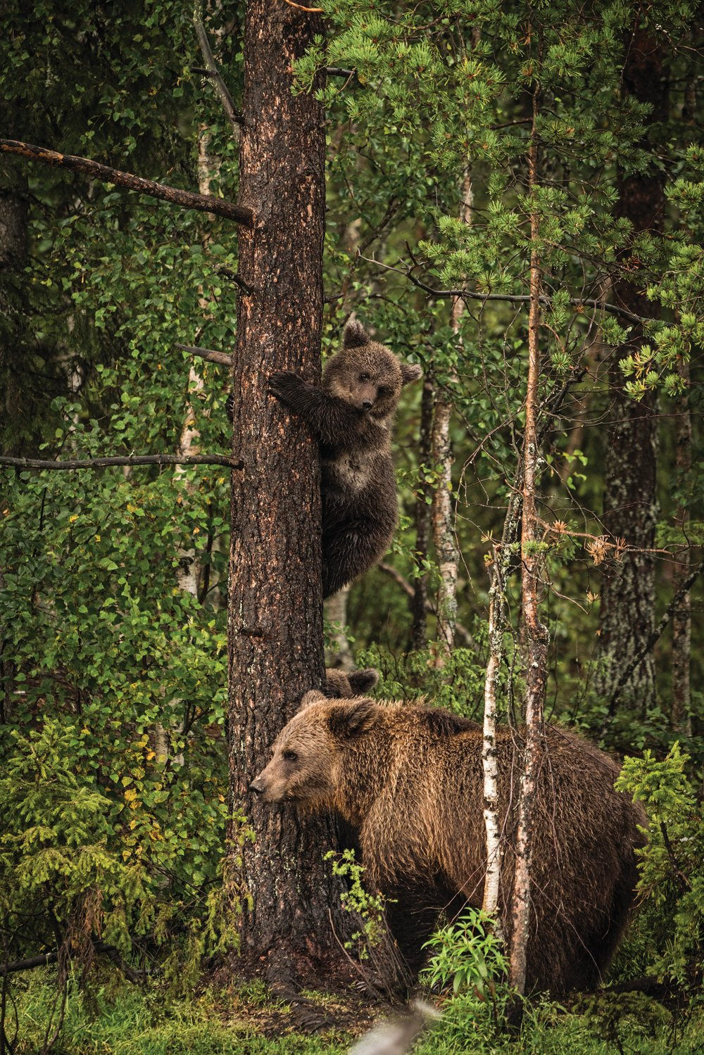 Male black bear and baby bear in Finland